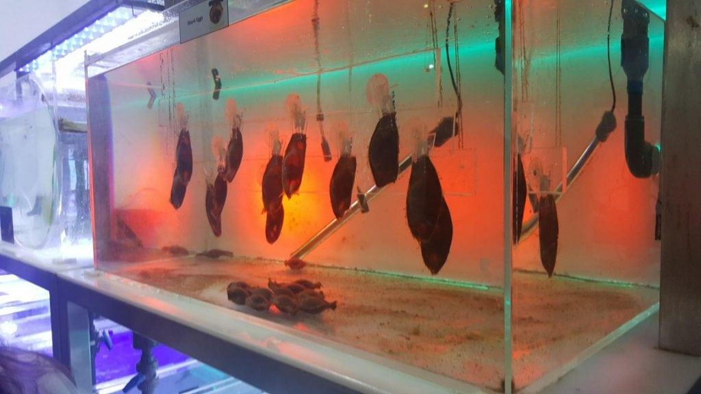الحديقه المائيه - بيوض سمكة القرش