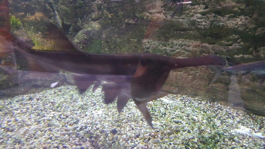 الحديقه المائيه - سمكة فمها أشبه بالمغارة