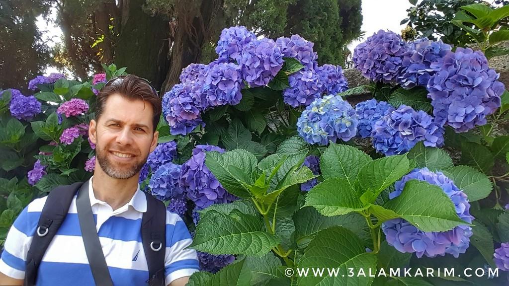أزهار منتشرة جدا حول بحيرة ماجوري واسمها العلمي Hydrangea Serrata