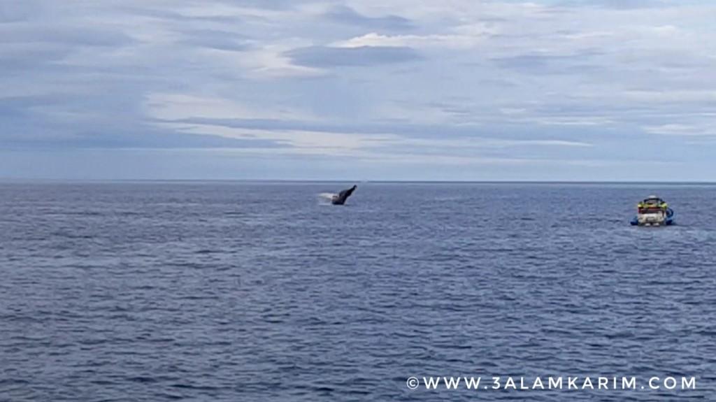 أيسلندا - حوت الHumpback يقفز الماء