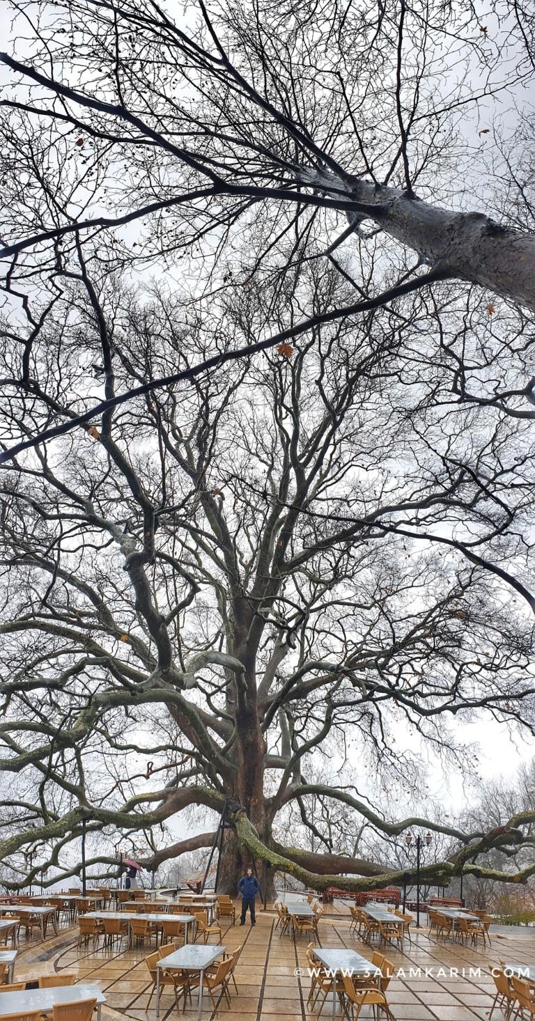 تصوير المناظر الشاهقة - الشجرة التاريخية في بورصه